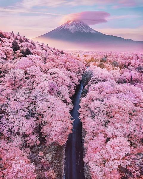 Fuji San und die Kirschblüte